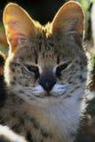 The serval- Leptailurus serval of Felis serval. The serval Leptailurus serval or Felis serval is a feline that lives on the African savanna stock image