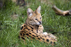 Serval,  Leptailurus serval  lying in the grass Stock Photography