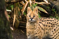 Serval Leptailurus serval. A wild cat native to Africa royalty free stock photos