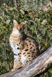 Serval - Leptailurus serval Stock Photos