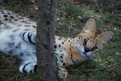 Serval (Leptailurus serval). South Africa Royalty Free Stock Images