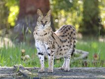 Serval standing Royalty Free Stock Photo