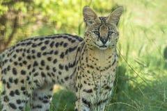 Serval (Leptailurus serval). Staring ahead Stock Image