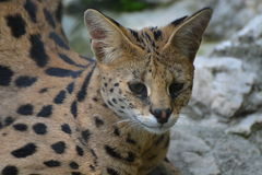 Serval / Leptailurus Serval Stock Photography