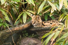 Serval Leptailurus serval. A wild cat native to Africa stock photography