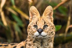 Serval Leptailurus serval. A wild cat native to Africa royalty free stock photography