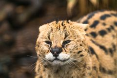 Serval Leptailurus serval. A wild cat native to Africa royalty free stock images
