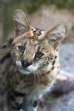 Serval & x28; Leptailurus serval& x29; Royaltyfri Bild