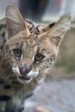 Serval & x28; Leptailurus serval& x29; Royaltyfria Bilder