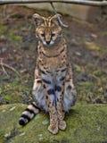 Serval, Leptailurus serval, sits on a boulder watching the surroundings. One Serval, Leptailurus serval, sits on a boulder watching the surroundings stock image