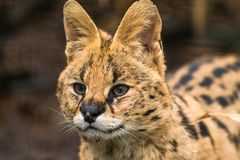 Serval Leptailurus serval. A wild cat native to Africa stock image