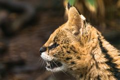 Serval Leptailurus serval. A wild cat native to Africa royalty free stock photo