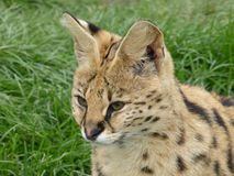 Serval looking out at the world royalty free stock photo