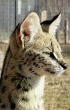 Serval looking. At something in the distance Royalty Free Stock Images