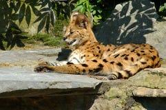 Serval, makanu. Fotografia Stock Libera da Diritti