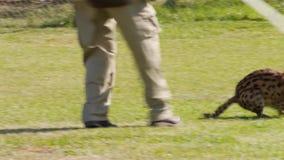 Serval med hans anhörigvårdare arkivfilmer