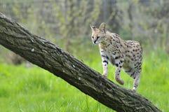 Serval na árvore do tronco fotos de stock royalty free