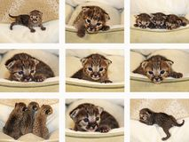 Serval neonato Savannah Kitten Collage Immagine Stock