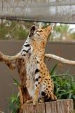 Serval ondulant - Lepitailurus Photos stock