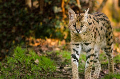 Serval Prowling Royalty Free Stock Images