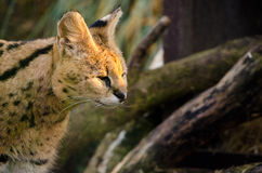 Serval Prowls Royalty Free Stock Photo
