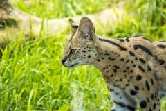 Serval que desengaça nas pastagem, gato selvagem de tamanho médio fotografia de stock