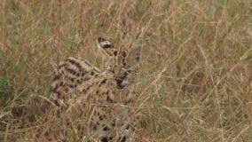 Serval salvaje en Kenia metrajes