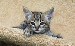 Serval Savannah Kitten Lizenzfreies Stockbild