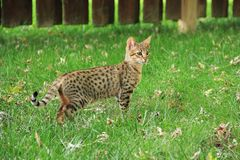 Serval Savannah Kitten. Savannah cat. Beautiful spotted and striped gold colored Serval Savannah kitten on a green grass lawn royalty free stock photo