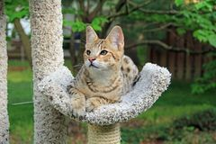 Serval Savannah Kitten Stock Photos