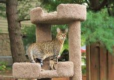 Serval sawanny figlarka zdjęcie stock