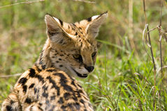 Serval in Serengeti Park Tanzania Royalty Free Stock Photo