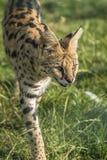 Serval (serval de Leptailurus) Fotografia de Stock Royalty Free