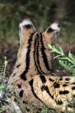 Serval (serval de Leptailurus) Photo stock