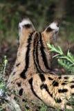 Serval (serval di Leptailurus) Fotografia Stock