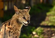 Serval Serval do Felis Fim acima Foto de Stock Royalty Free