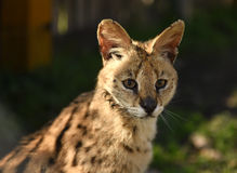 Serval Serval do Felis Fim acima fotografia de stock royalty free