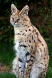 Serval sitting in grass Stock Photo