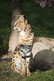 Serval sitting, Leptailurus serval Royalty Free Stock Photos