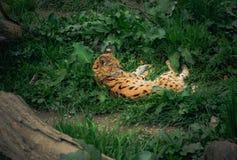 Serval som ligger i gräs Royaltyfria Foton