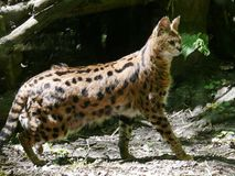 Serval spotted stock images