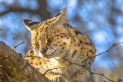 Serval sur un arbre photos stock