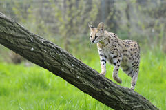 Serval on trunk tree royalty free stock photos