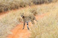 Serval Tsavo. Serval natsionalnm in Tsavo Park in Kenya royalty free stock image