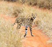 Serval Tsavo Park. Serval natsionalnm in Tsavo Park in Kenya royalty free stock photo