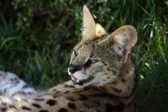 Serval Wild Cat Stock Photography