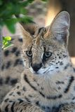 Serval Wild Cat Royalty Free Stock Images