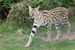 Serval Wild Cat. With beautiful spotted fur and long legs stock images