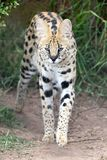 Serval Wild Cat. With beautiful spotted fur and long legs Royalty Free Stock Image