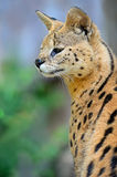 Serval Wild Cat Royalty Free Stock Photography